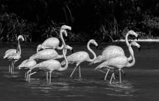 Flamants des Caraïbes - Phoenicopterus ruber